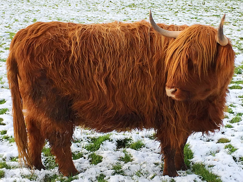 healthy breeding highland cattle
