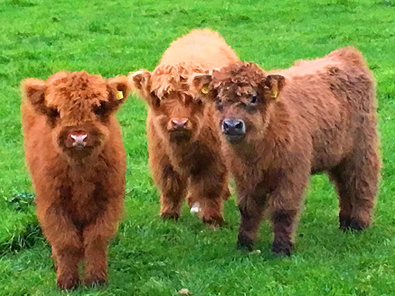 pure breeding highland cattle
