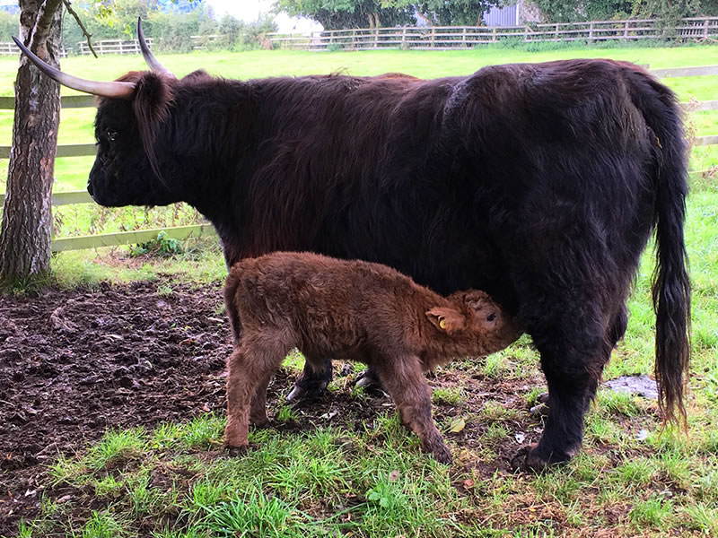 natural rearing highland cattle