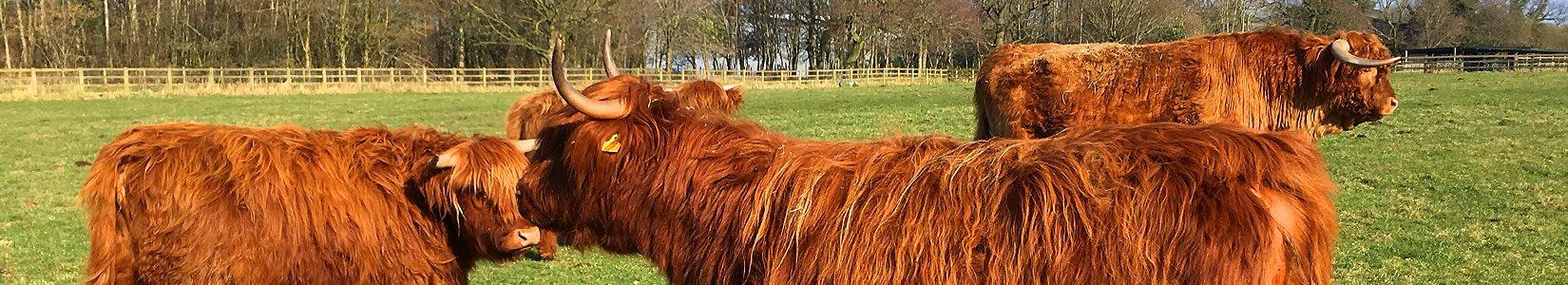 pedigree highland cattle