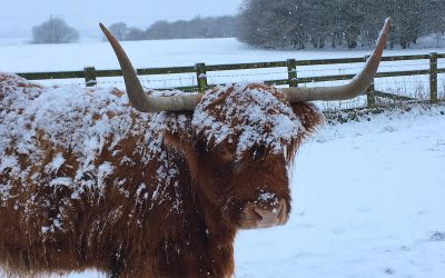 Oak Fold Pedigree Highland Cattle