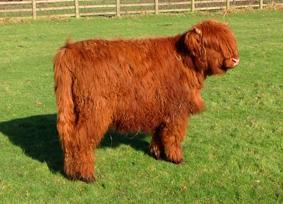 calf2