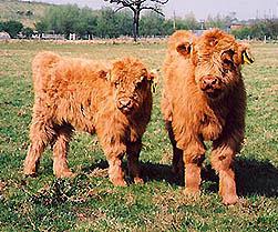 highland calf uisdean