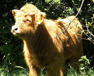 A young calf takes in the spring sunshine