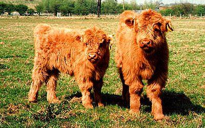 Lovely bull & heifer calf enjoying the summer sun