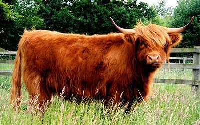 Our Highland cattle thrive well on the lush Cheshire grass