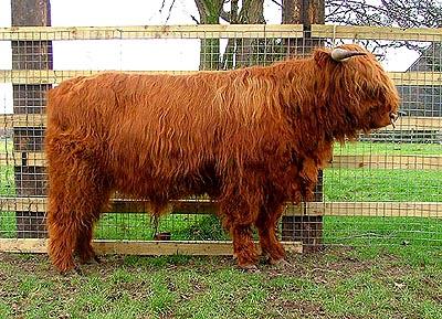 Stock Bull Theodore of Salt